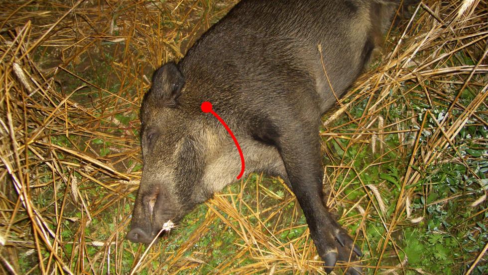 Avfångst av vildsvin med jaktkniv
